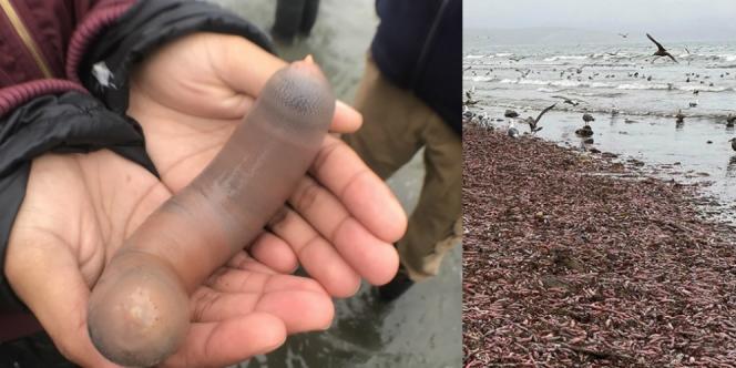 Ikan Penis Terdampar Ribuan Ekor di Pantai Amerika