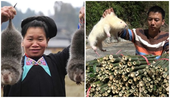 Tikus Bambu Di Cina Dianggap Bergizi
